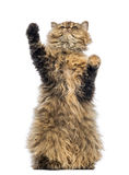 Selkirk Rex, 5 months old, standing on hind legs and reaching Stock Photo