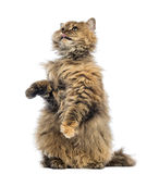 Selkirk Rex, 5 months old, standing on hind legs and reaching, licking Stock Image