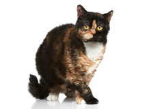 Selkirk rex breed cat Stock Image