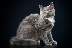 Selkirk Rex breed cat. Selkirk-Rex breed cat on a dark background Royalty Free Stock Images