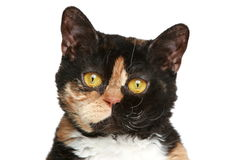 Selkirk rex breed cat. Close-up portrait Stock Photo