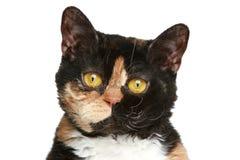 Selkirk rex breed cat. Close-up portrait. Selkirk rex cat. Close-up portrait on a white background Stock Photo
