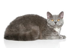 Selkirk Rex breed cat on a white background Stock Photos