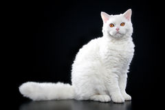 Selkirk rex cat Royalty Free Stock Photo