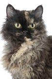 Selkirk Rex cat stock image
