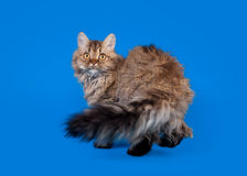 Selkirk rex cat Stock Photo