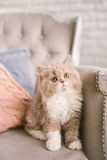 Selkirk rex cat on the beautiful old-fashioned chair Stock Images