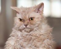 Selkirk Rex cat stock photos