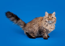 Selkirk rex cat on sky blue background. Young selkirk rex cat on sky blue background Stock Photo