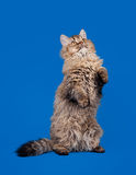 Selkirk rex cat on sky blue background Stock Photography