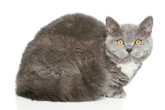 Selkirk Rex cat on a white background Stock Photography