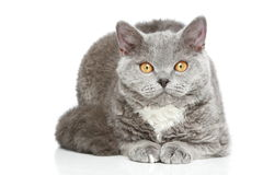 Selkirk Rex cat on a white background Stock Images
