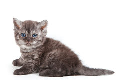Selkirk Rex kitten Stock Photos