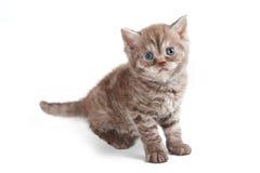 Selkirk Rex kitten Stock Image