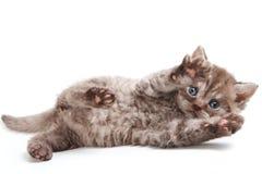 Selkirk Rex kitten royalty free stock photo