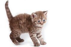 Selkirk Rex kitten Stock Photos
