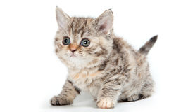 Selkirk Rex kitten Stock Images