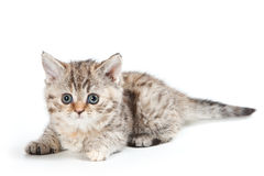 Selkirk Rex kitten Royalty Free Stock Images