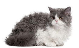 Selkirk Rex kitten, 5 months old, sitting Stock Photography