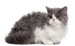 Selkirk Rex kitten, 5 months old, sitting Stock Photography