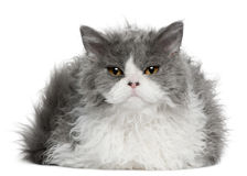 Selkirk Rex kitten, 5 months old, sitting Royalty Free Stock Images