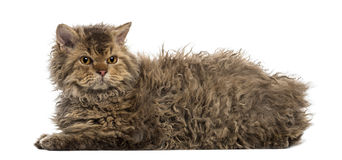 Selkirk rex lying, isolated on white Royalty Free Stock Photo