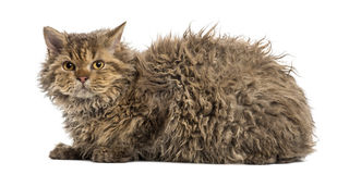 Selkirk rex lying, isolated on white Stock Images