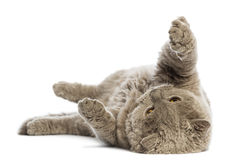 Selkirk Rex lying on its back Stock Images