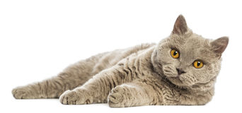 Selkirk Rex lying and looking at camera Stock Photos