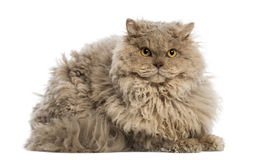 Selkirk rex lying, looking at the camera, Royalty Free Stock Images