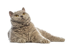 Selkirk Rex lying and looking up Stock Photo