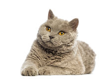 Selkirk Rex lying and looking up Royalty Free Stock Photo