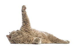 Selkirk Rex lying and reaching Stock Photography