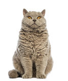 Selkirk Rex sitting and looking at camera Royalty Free Stock Photography