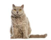 Selkirk Rex sitting and looking at camera Stock Photos