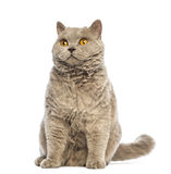 Selkirk Rex sitting and looking up Stock Image