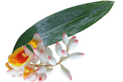 Sell Ginger Flower and Leaf Stock Images
