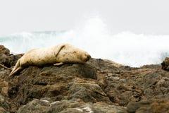 Selle dormir en la costa de California Imagenes de archivo