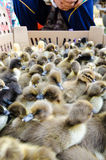 Seller and many ducklings for sale Stock Photo