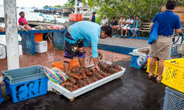 Seller sell fresh and cheap price big size lobsters at the Santa Cruz Fish Market Royalty Free Stock Image