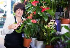Seller tending anturion. Smiling shop assistant tending red anturion in flower shop Royalty Free Stock Image