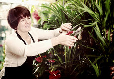 Seller tending yucca. Woman seller tending yucca palm trees in flower shop Stock Image