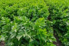Selleri planterar det jordbruks- fältet royaltyfri fotografi