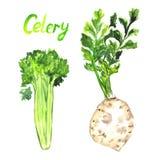 Selleri rotar, den gröna växten med sidor vektor illustrationer
