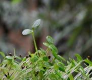 Selleriepflanzen Lizenzfreies Stockfoto