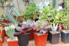 Selling cacti and succulents Stock Photography