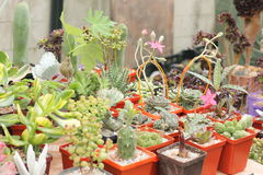 Selling cacti and succulents Royalty Free Stock Images