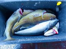 Selling fresh killed fish in plastic box. Plastic box with bloody water, wet box. Selling fresh killed fish in plastic box. Plastic box with bloody water, wet Royalty Free Stock Photo