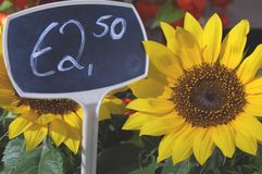 Selling price sunflower. Sunflower with a euro pricetag made in Amsterdam in front of a flowershop in the eurozone Stock Photos