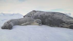 Sello adulto del weddell del bebé antártico que miente en nieve almacen de video